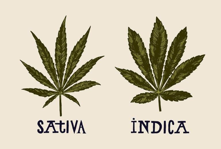 indica vs sativa plant